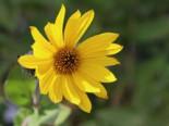 Behaarte Sonnenblume, Helianthus mollis, Topfware