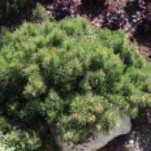 Berg-Kiefer 'Carsten', Stamm 40-50 cm, 60-80 cm, Pinus mugo 'Carsten', Stämmchen