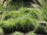 Berg Segge, Carex montana, Topfware