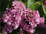 Bergenie 'Herbstblüte', Bergenia cordifolia 'Herbstblüte', Topfware