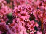 Bergenie 'Pink Dragonfly', Bergenia cordifolia 'Pink Dragonfly', Containerware
