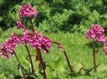 Bergenie 'Pinneberg', Bergenia cordifolia 'Pinneberg', Topfware