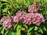 Berglorbeer / Lorbeerrose 'Carousel', 25-30 cm, Kalmia latifolia 'Carousel', Containerware