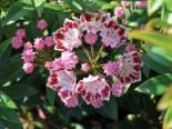 Berglorbeer / Lorbeerrose 'Minuet', 20-25 cm, Kalmia latifolia var. myrtifolia 'Minuet', Containerware