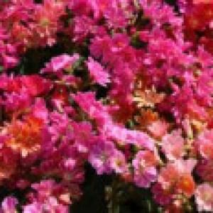 Bitterwurz 'Regenbogen', Lewisia cotyledon 'Regenbogen', Topfware