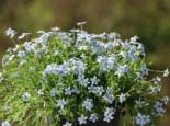 Blauer Bubikopf, Isotoma fluviatilis, Topfware