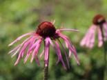 Bleicher Scheinsonnenhut, Echinacea pallida, Topfware