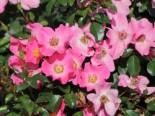 Bodendecker-Rose / Beetrose 'Fortuna' ®, Rosa 'Fortuna' ® ADR-Rose, Topfware