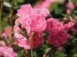 Bodendecker-Rose / Beetrose 'The Fairy', Rosa 'The Fairy', Containerware