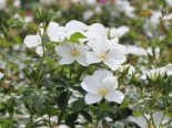 Bodendecker-Rose 'Escimo' ®, Rosa 'Escimo' ® ADR-Rose, Wurzelware