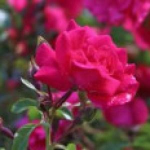 Bodendecker-Rose 'Heidetraum' ®, Rosa 'Heidetraum' ® ADR-Rose, Containerware