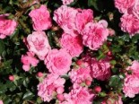Bodendecker-Rose 'Knirps' ®, Rosa 'Knirps' ® ADR-Rose, Containerware