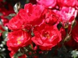 Bodendecker-Rose 'Limesglut' ®, Rosa 'Limesglut' ® ADR-Rose, Containerware