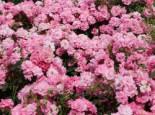 Bodendecker-Rose 'Mirato' ®, Stamm 90 cm, Rosa 'Mirato' ® ADR-Rose, Stämmchen