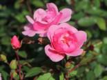 Bodendecker Rose 'Schöne Dortmunderin' ®, Rosa 'Schöne Dortmunderin' ® ADR-Rose, Containerware