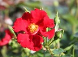 Bodendecker-Rose 'Alpenglühen' ®, Rosa 'Alpenglühen' ®, Containerware