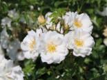 Bodendeckerrose 'Diamant' ®, Rosa 'Diamant' ® ADR-Rose, Containerware