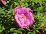 Bodendeckerrose 'Pink Roadrunner ®', Rosa 'Pink Roadrunner ®', Wurzelware