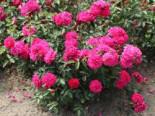 Bodendeckerrose 'Purple Rain' ®, Rosa 'Purple Rain' ®, Wurzelware