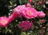Bodendeckerrose 'Satina' ®, Rosa 'Satina' ® ADR-Rose, Containerware
