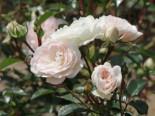 Bodendecker-Rose 'Sea Foam', Rosa 'Sea Foam', Containerware