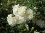 Bodendeckerrose 'Snow Ballet' ®, Rosa 'Snow Ballet' ®, Topfware