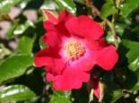 Bodendeckerrose 'Sommerabend' ®, Rosa 'Sommerabend' ® ADR-Rose, Containerware