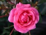 Bodendeckerrose 'Sommermärchen' ®, Rosa 'Sommermärchen' ®, Wurzelware