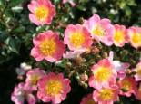 Bodendeckerrose 'Topolina' ®, Rosa 'Topolina' ® ADR-Rose, Topfware