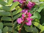 Borstenakazie 'Macrophylla', 60-100 cm, Robinia hispida 'Macrophylla', Containerware