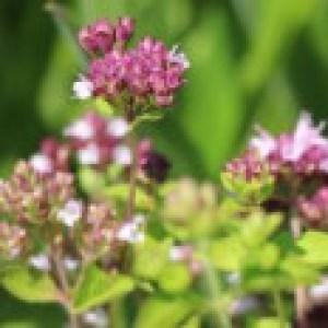Borstiger Dost / Pizza-Oregano, Origanum vulgare subsp. hirtum, Topfware