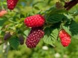 Brombeere 'Buckingham Tayberry' ®, 40-60 cm, Rubus 'Buckingham Tayberry' ®, Containerware