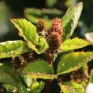 Brombeere Direttissima ® 'Montblanc ®', 40-60 cm, Rubus fruticosus Direttissima ® 'Montblanc ®', Containerware
