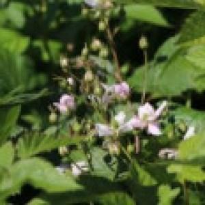 Brombeere 'Thornfree', 40-60 cm, Rubus fruticosus 'Thornfree', Containerware