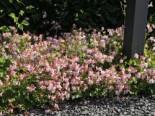 Cambridge Storchschnabel 'Biokovo', Geranium x cantabrigiense 'Biokovo', Topfware