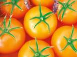 Carotin-Tomate 'Bolzano', Solanum lycopersicum 'Bolzano', Topfware