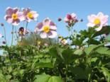 China-Herbst-Anemone 'September Charme', Anemone hupehensis 'September Charme', Topfware