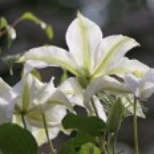 Clematis 'Alabast' / 'Poulala' (N), 60-100 cm, Containerware