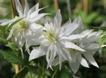 Clematis 'Albina Plena', 60-100 cm, Clematis alpina ssp. sibirica 'Albina Plena', Containerware