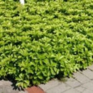 Dickmännchen / Schattengrün, 15-20 cm, Pachysandra terminalis, Topfware