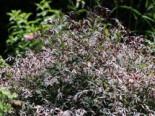 Dreiblattspiere, Gillenia trifoliata, Topfware