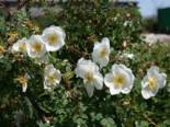 Dünenrose / Bibernellrose, 60-100 cm, Rosa pimpinellifolia, Wurzelware
