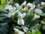 Duft Veilchen 'Miracle Bride White', Viola odorata 'Miracle Bride White', Topfware