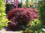 Dunkelroter Schlitzahorn 'Garnet', 40-60 cm, Acer palmatum 'Garnet', Containerware