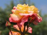 Edelrose 'Aquarell' ®, Rosa 'Aquarell' ®, Wurzelware