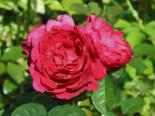 Edelrose 'Ascot' ®, Rosa 'Ascot' ®, Wurzelware