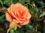 Edelrose 'Ashram' ®, Rosa 'Ashram' ®, Containerware