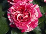 Edelrose 'Best Impression' ®, Rosa 'Best Impression' ®, Wurzelware