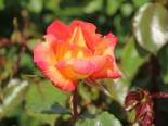 Edelrose 'Caribia' ®, Rosa 'Caribia' ®, Wurzelware