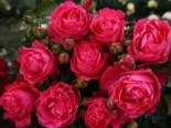 Edelrose 'Cherry Lady' ®, Rosa 'Cherry Lady' ®, Containerware